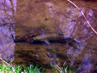 fish_in_creek